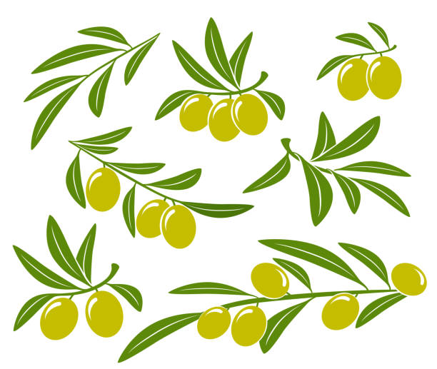 olive branches set with green olives isolated vintage olive branches set and green olives olives stock illustrations