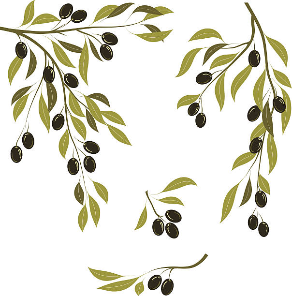 illustrations, cliparts, dessins animés et icônes de branches d'olive - olivier