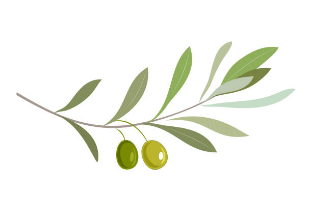 Olive oil label or logo for farm store or market. Olive branch with leaves and olives. Retro emblem organic olive oil vector illustration isolated on white background. olive branch stock illustrations