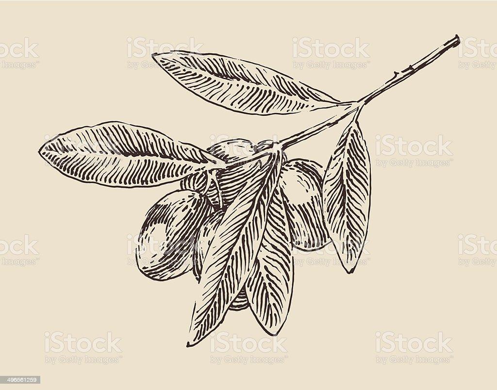 Albero di ulivo rami illustrazione depoca incisione stile for Albero ulivo vettoriale