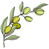 Olive tree in a vector style isolated. Green engraved ink art. Branches of an olive tree. Vector olive tree for background, texture, wrapper pattern, frame or border.