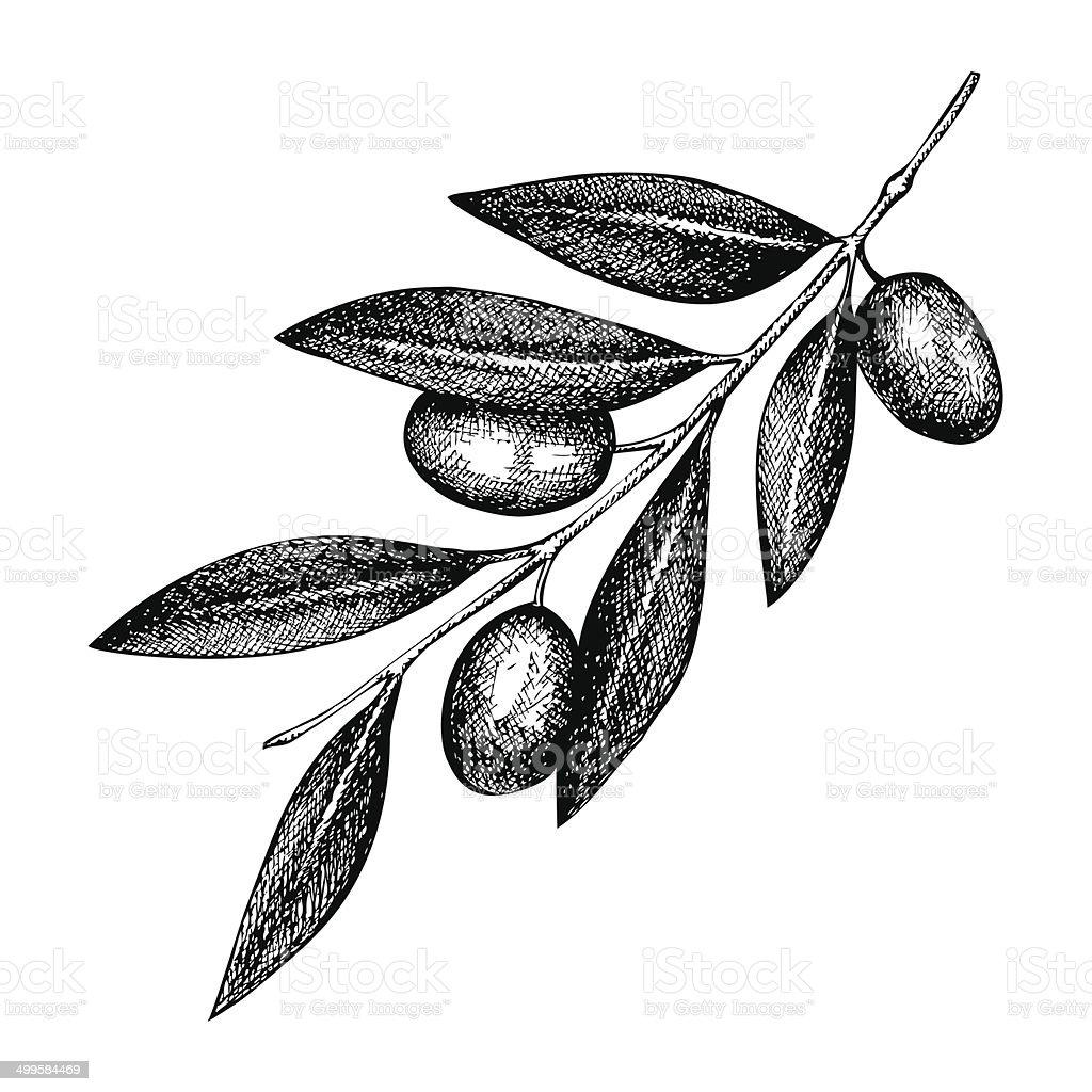 olive twig illustration vector art illustration