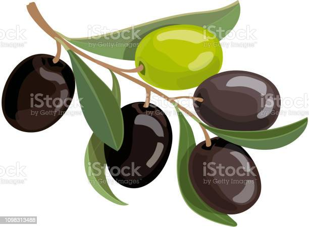 Olives bunch logo green and black olives branche vector illustration vector id1098313488?b=1&k=6&m=1098313488&s=612x612&h=rcqwquncms5otibh5l nh9z3qtkcpzqr5r6aub9agag=