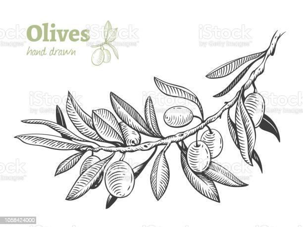Olives hand drawn vector illustration vector id1058424000?b=1&k=6&m=1058424000&s=612x612&h=kvqar cokkrl oygtlbt24xbufx2dzzhp9stx zxeoq=