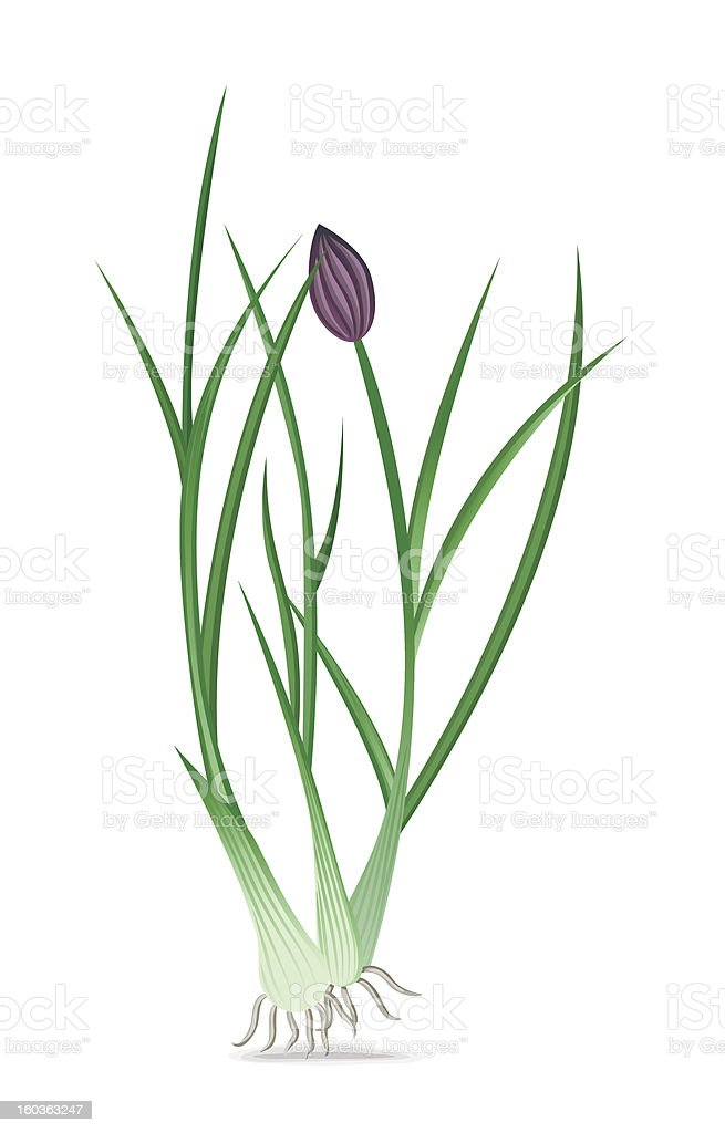Onion chives royalty-free stock vector art
