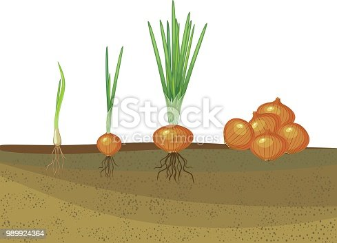 Onion growth stages. From seeding to harvesting