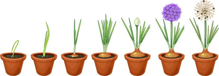 양파 성장 단계입니다 냄비에 성장 파 개발에 대한 스톡 벡터 아트 및 기타 이미지 - iStock