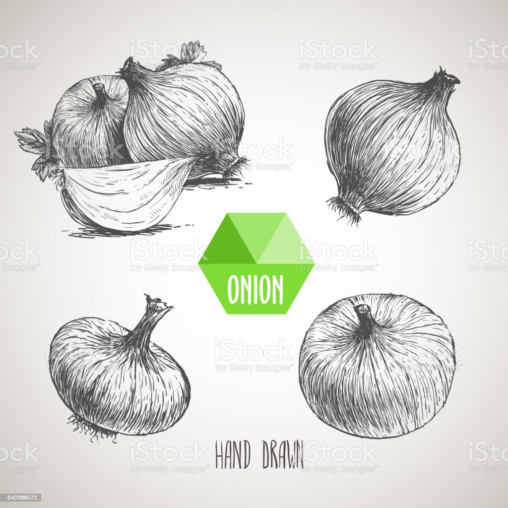 Onion hand drawn set. Herbs and spices vector illustration vector art illustration