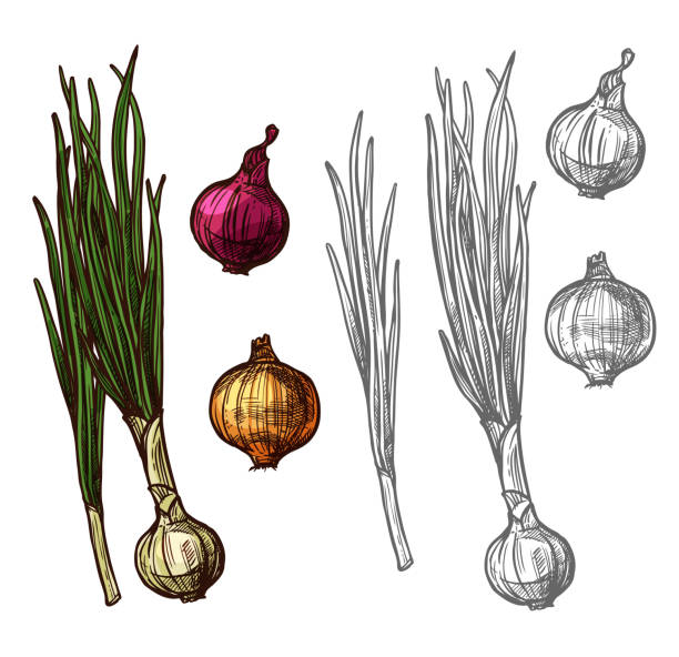 Onion or scallion vegetable with green leaf sketch Onion vegetable with green leaf sketch of spicy plant. Yellow, red and white bulb onion, fresh sprout of spring onion or scallion, leek or shallot icon for farm market and food packaging design scallion stock illustrations