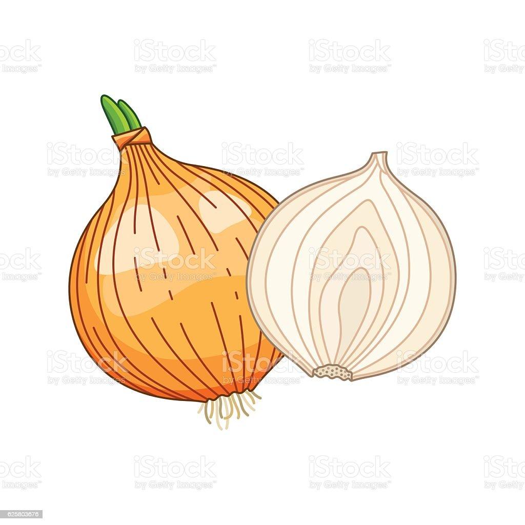 Onion vector colored botanical illustration vector art illustration