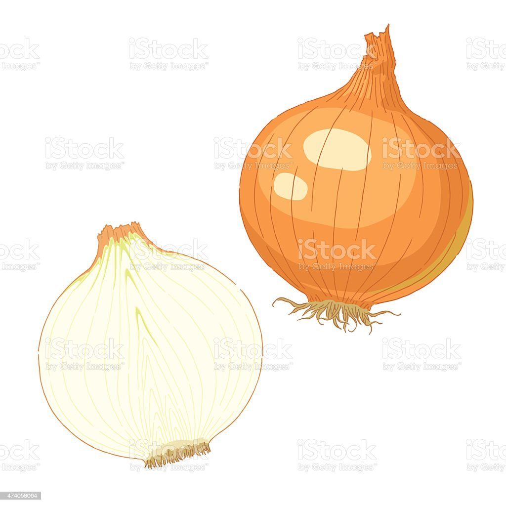 Onion vector art illustration