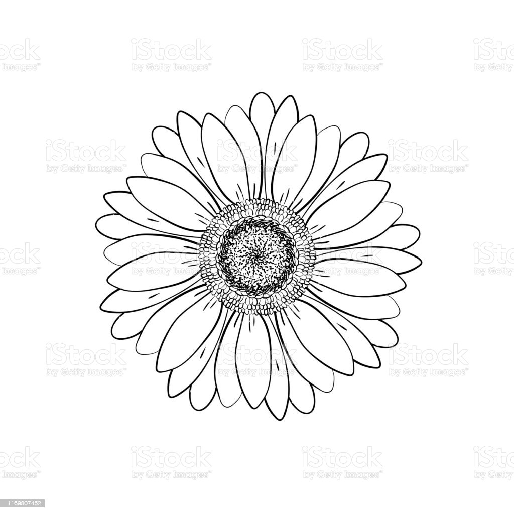 Open petals daisy head flower. Floral Botany drawings. Black and...