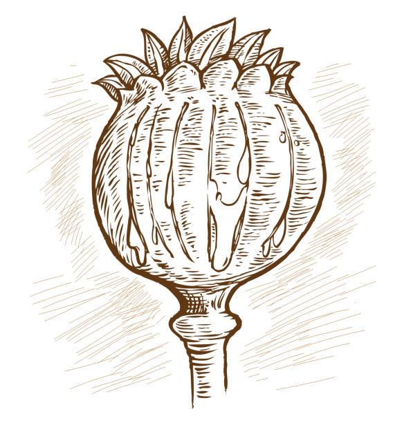 Opium poppy, Papaver somniferum. Hand drawn vector vector art illustration