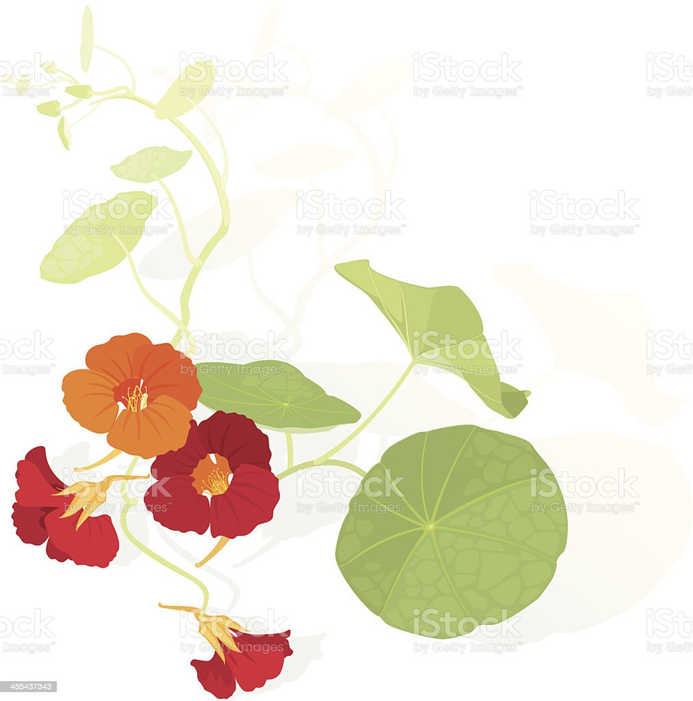 Orange and Red Flowers of Nasturtium royalty-free orange and red flowers of nasturtium stock illustration - download image now
