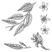 Line artwork of orange blossoms and leaves.