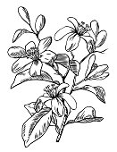 Pen and ink engraving botanical illustration of orange blossom.