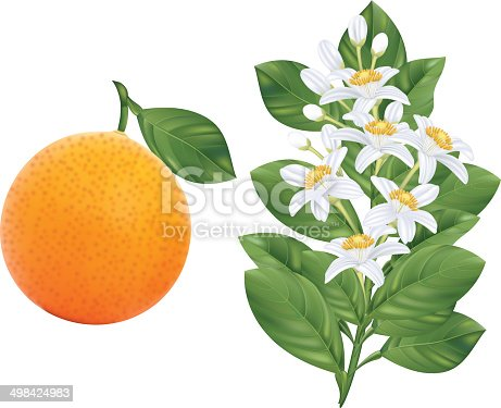 Orange Blossoms Branch And Fruit Stock Vector Art & More ...