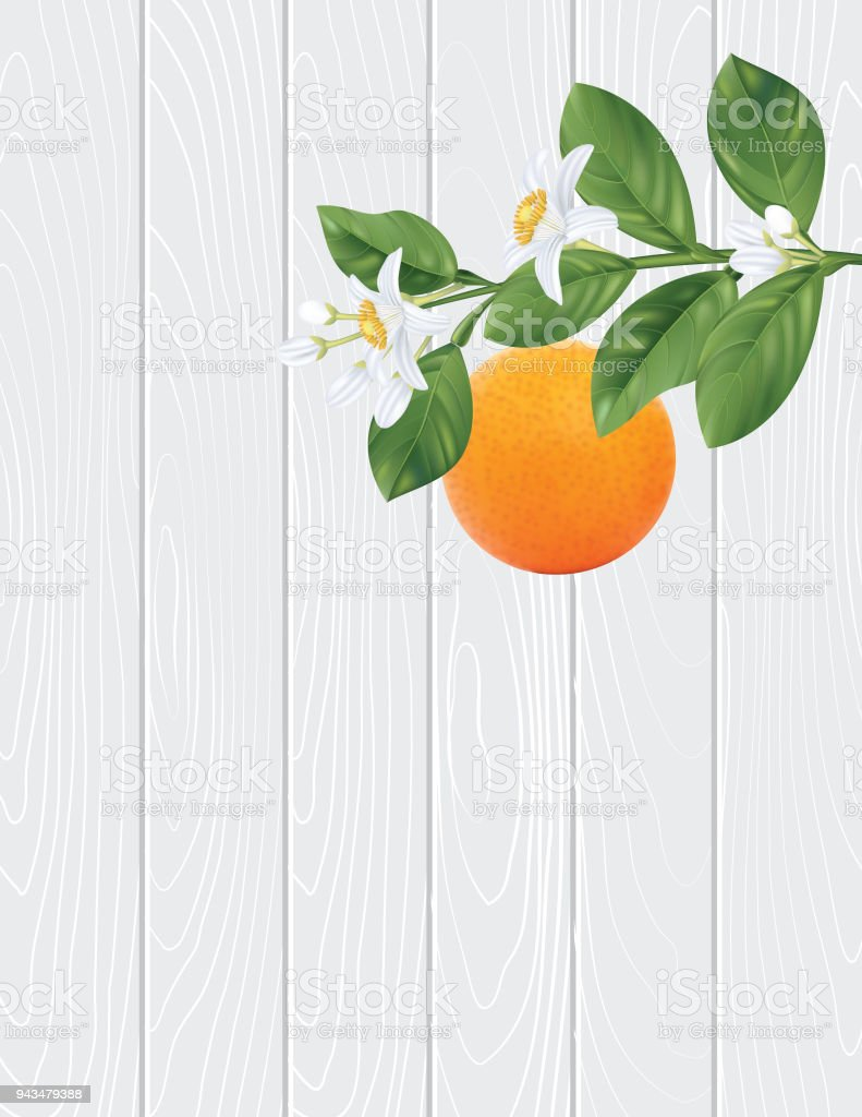 Orange Blossoms Branch And Fruit Royalty Free Stock Vector Art