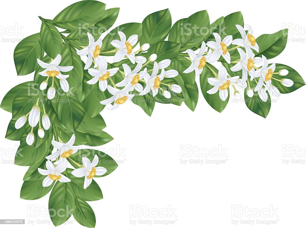Orange Blossoms Branch Without Fruit vector art illustration