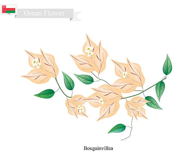 Orange Bougainvillea Flowers, The Native Flower of Oman - ilustración de arte vectorial