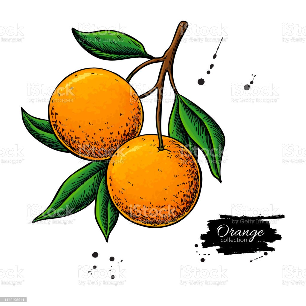 Orange Branch Vector Drawing Summer Fruit Color Illustration Isolated Hand Drawn Whole Orange Stock Illustration Download Image Now Istock