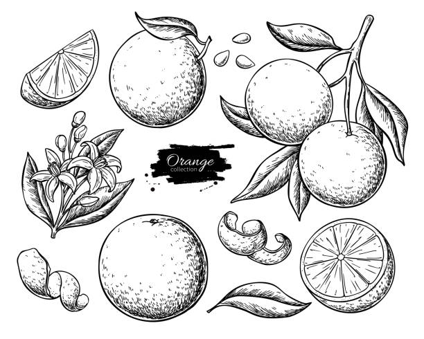 Orange fruit vector drawing set. Summer food engraved  illustration. Orange fruit vector drawing. Summer food engraved  illustration Isolated hand drawn slice, whole and half orange, branch, blooming flower, leaves. Botanical sketch of citrus for label, juice packaging orange fruit stock illustrations
