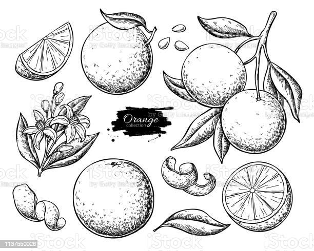 Orangefarbene Fruchtvektorzeichnung Sommeressen Gravierte Illustration Stock Vektor Art und mehr Bilder von Agrarbetrieb