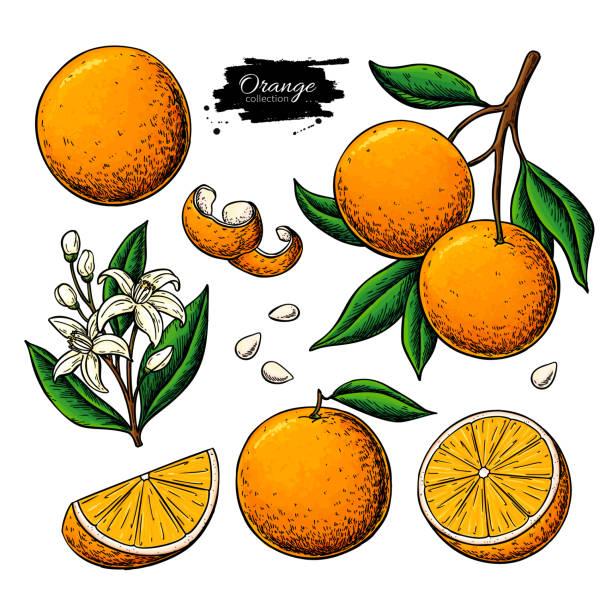 ilustrações de stock, clip art, desenhos animados e ícones de orange fruit vector drawing. summer food illustration - orange