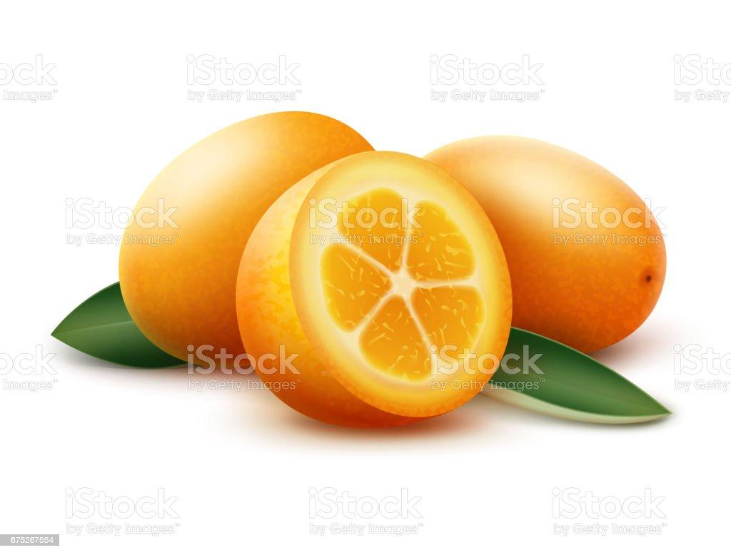 Orange kumquat fruits and green leaves vector art illustration