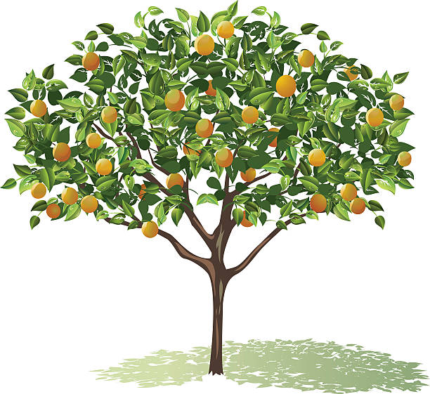 orange tree full bloom with leaves and fruit casting shadow vector art  illustration