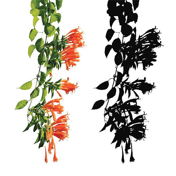 Orange trumpet, Flame flower, Fire-cracker vine, Vectors Orange trumpet, Flame flower, Fire-cracker vine, Vectors honeysuckle stock illustrations