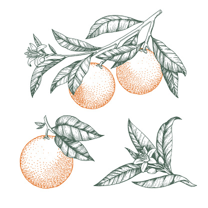 Oranges on a branch set. Isolated vector illustration of citrus tree with leaves and blossoms.