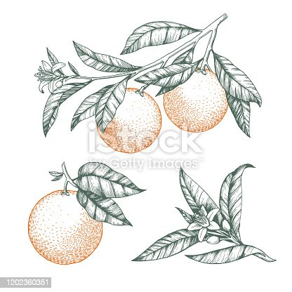 istock Oranges on a branch set. Isolated vector illustration of citrus tree with leaves and blossoms. 1202360351