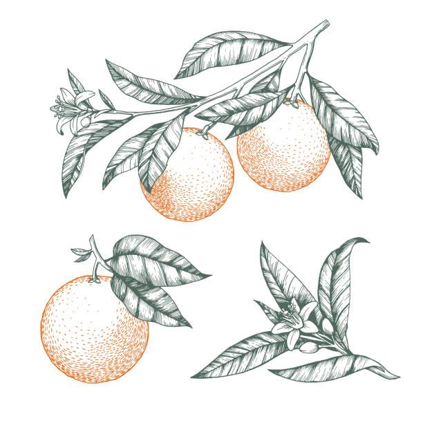 bildbanksillustrationer, clip art samt tecknat material och ikoner med apelsiner på en gren uppsättning. isolerad vektor illustration av citrusträd med löv och blommor. - apelsin