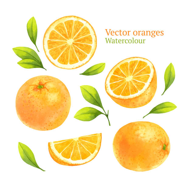 Top 30 Watercolor Slice Of Orange Fruit Isolated Vector Clip