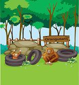 Orangutans at the zoo