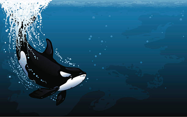 Orca Dive Widescreen Diving Orca. Major elements layered separately. 2 spot colors plus black. Simple gradients and shapes for easy color changes, printing and separating. File formats: EPS and JPG killer whale stock illustrations