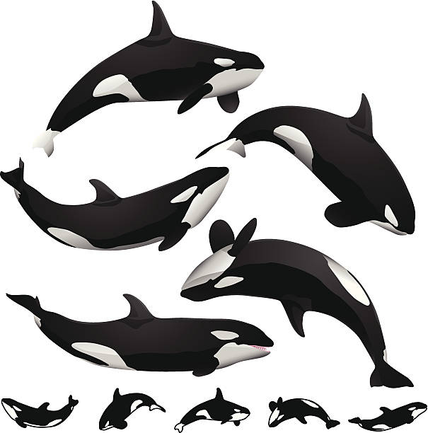 Illustration / drawing of 3 orcas / an orca family ... |Pod Of Orcas Drawing