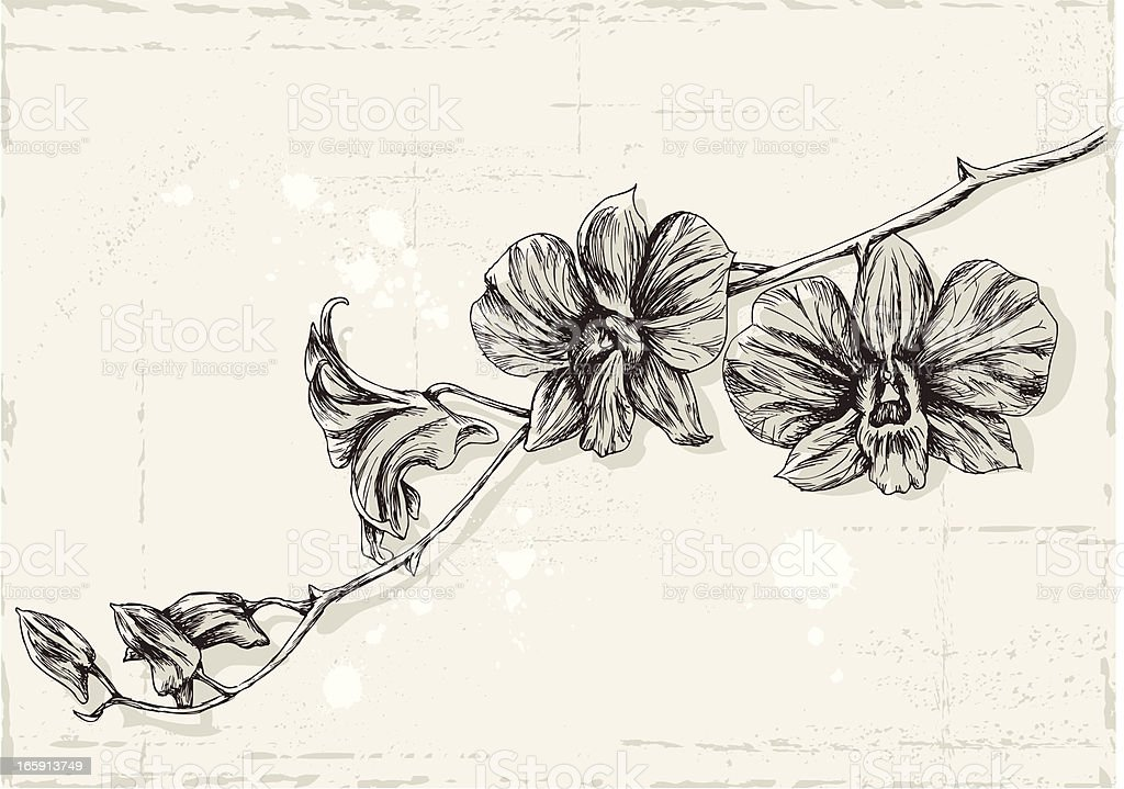 Orchid Flower Line Drawing : Orchid drawing stock vector art more images of and