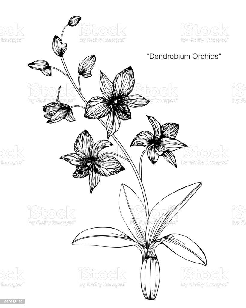 Dessin Fleur D Orchidée fleur dorchidée dessin illustration noir et blanc avec dessins au