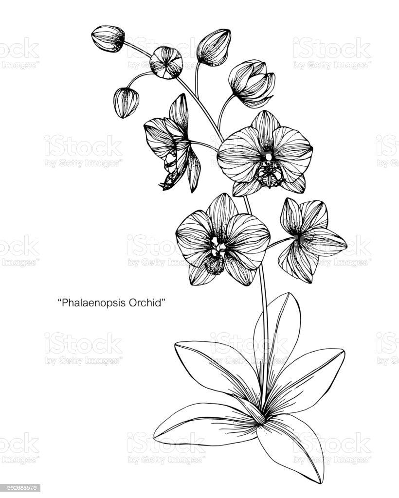 Fleur Dorchidée Dessin Illustration Noir Et Blanc Avec
