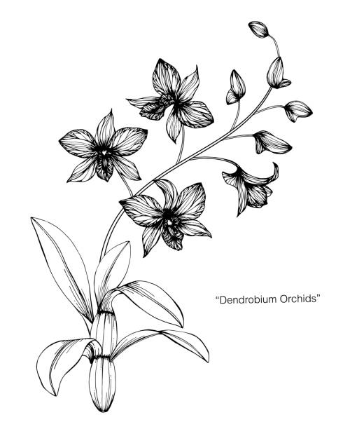 Orchid flower drawing illustration. Black and white with line art on white backgrounds. Orchid flower drawing illustration. Black and white with line art on white backgrounds. orchid stock illustrations