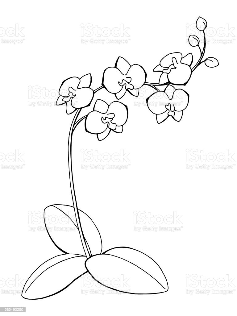 orchid flower graphic art black white isolated sketch