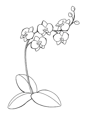 Orchid flower graphic art black white isolated sketch illustration vector