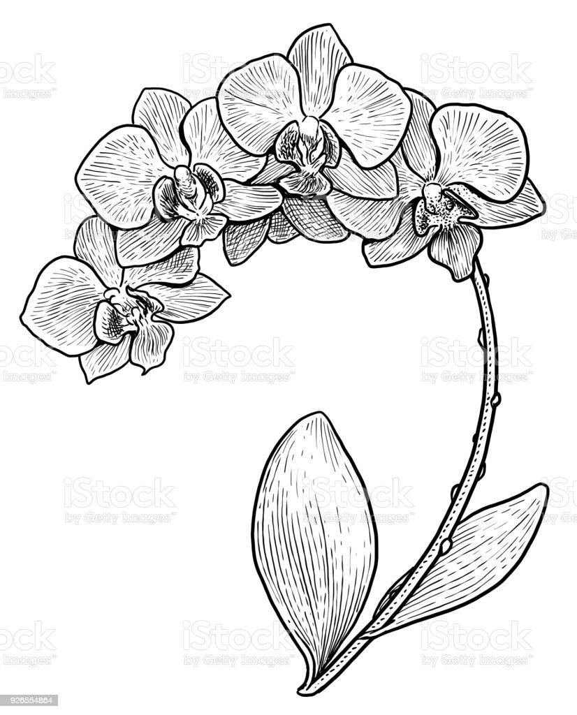 Orchid Flower Line Drawing : Orchidee blume illustration zeichnung gravur tinte