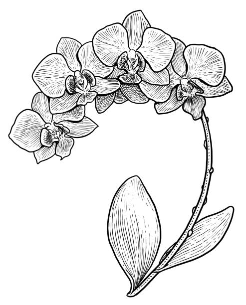 Orchid flower illustration, drawing, engraving, ink, line art, vector Illustration, what made by ink, then it was digitalized. orchid stock illustrations