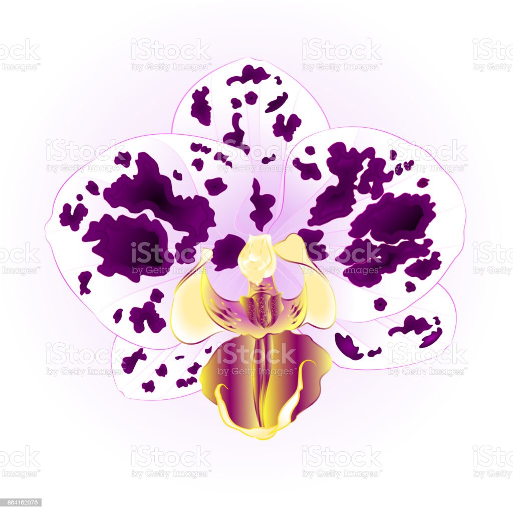 Orchid Phalaenopsis  Purple-white spotted beautiful flower closeup isolated vintage  vector illustration editable royalty-free orchid phalaenopsis purplewhite spotted beautiful flower closeup isolated vintage vector illustration editable stock vector art & more images of beauty