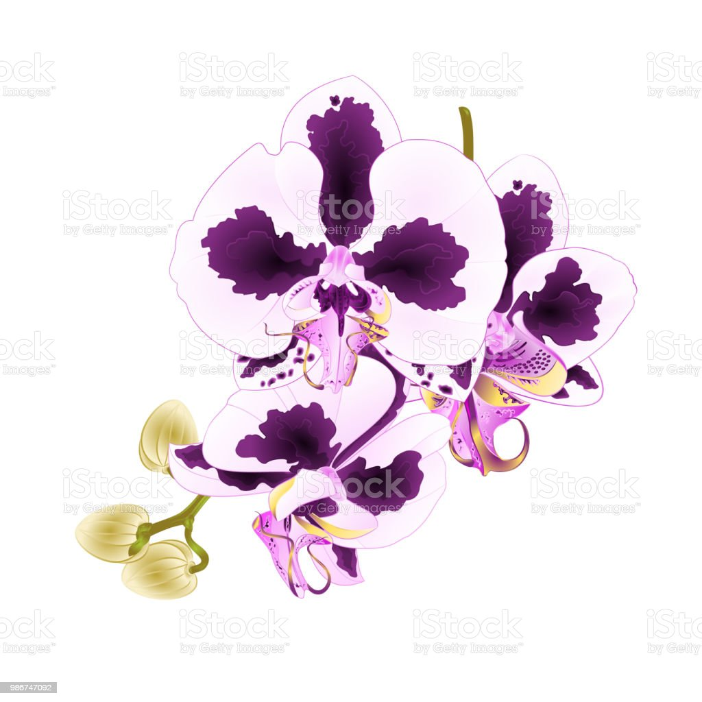 Orchid Phalaenopsis With Spots Stem Purple And White Flowers And