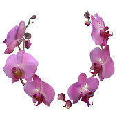 Orchid. Tropical flowers. Floral background. Pattern. Exotic plants. Branch. Buds. Purple. Isolated.