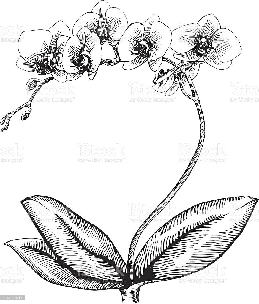 Orchid Flower Line Drawing : Orchid stock vector art more images of black and white